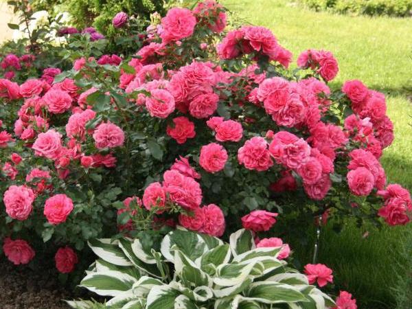 розариум роза